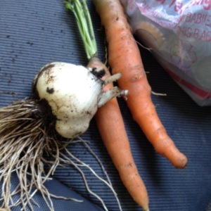 Garlic and carrots from LCH gardens